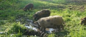 almtaler-weideschweine