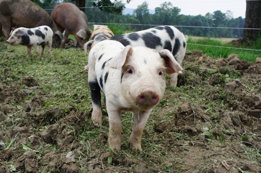almtaler weideschweine
